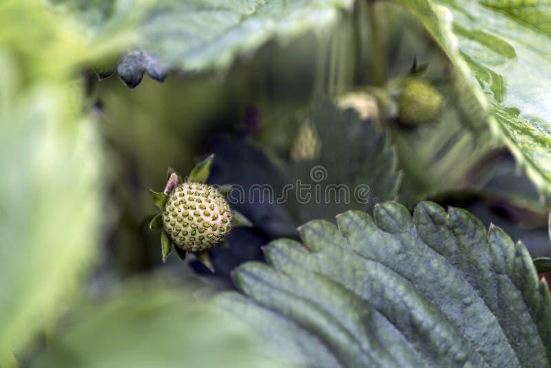 Zielony srawberry zdjęcie stock