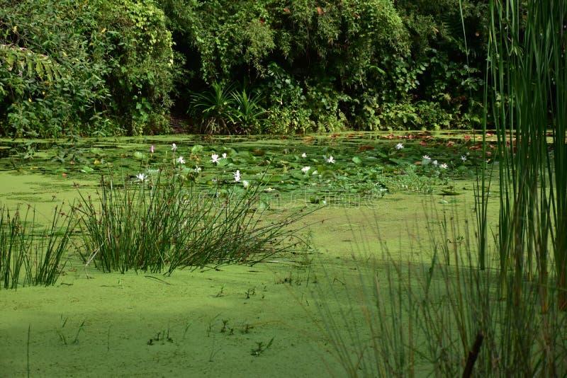 Zielony staw przy Sungei Buloh zdjęcie royalty free