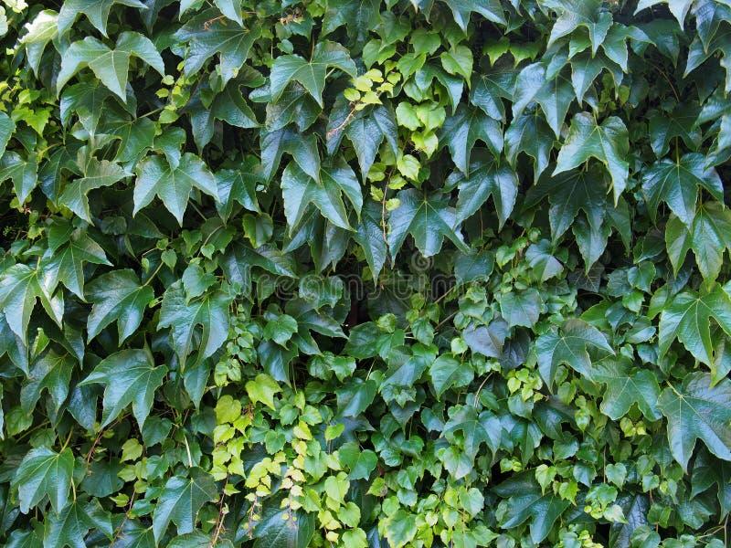 zielony tła ivy obraz stock