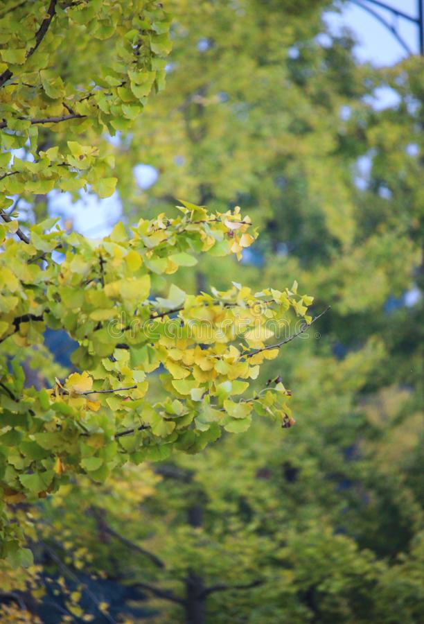 Zielony tło, żółty ginkgo opuszcza, drewna, ginkgo drzewa, ginkgo opuszcza, udziały liście, jesieni sceneria, naturalna sceneria zdjęcia royalty free