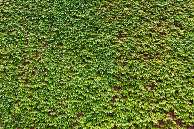 zielony tło bluszcz opuszczać bujny zdjęcia royalty free