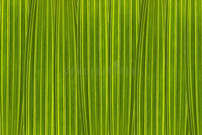 Zielony tło komponujący drzewko palmowe opuszcza w wysokim powiekszaniu zdjęcie royalty free