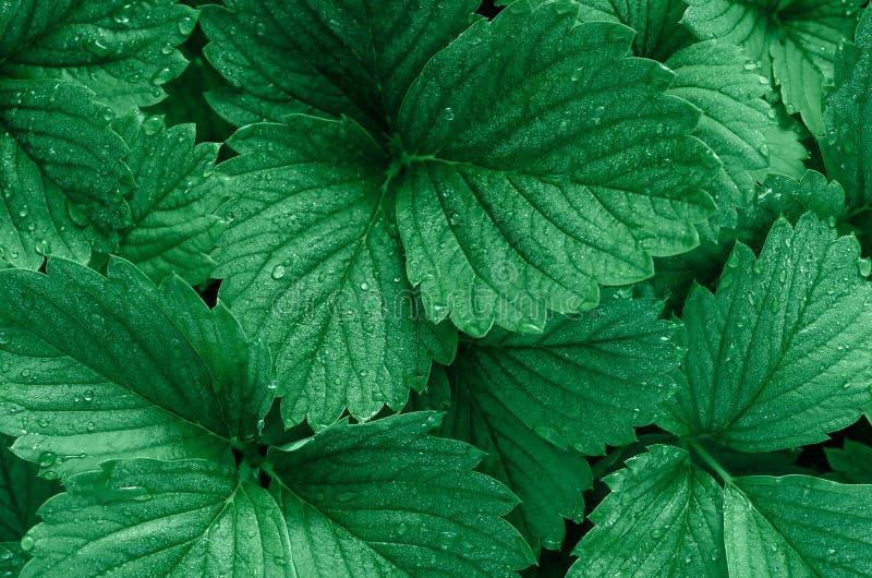 Zielony tło truskawkowi liście Rosa krople na liściach Modny kolor fotografia royalty free