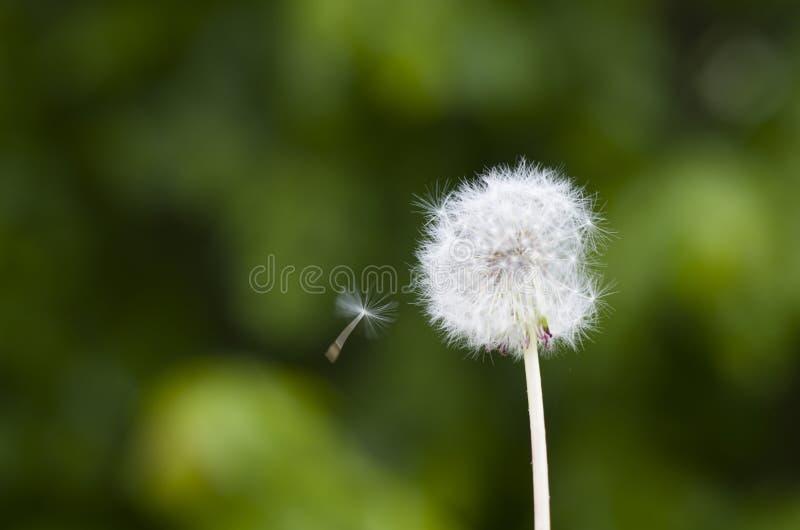 Zielony t?o z Dandelion zdjęcia royalty free
