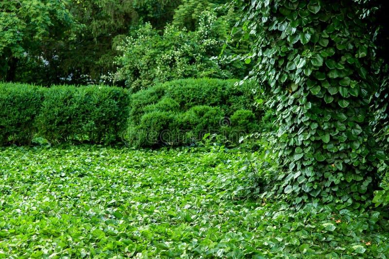 Zielony teren w parku z roślinami wspina się bluszcza fotografia stock