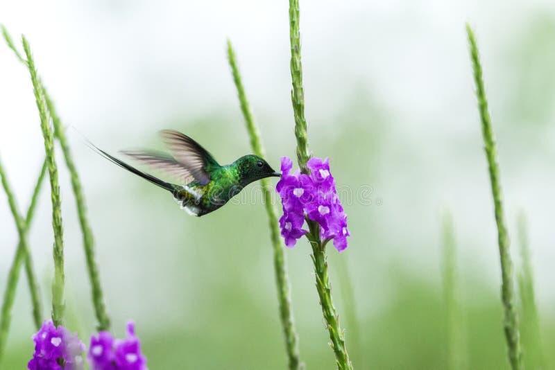 Zielony thorntail unosi się obok fiołkowego kwiatu, ptak od halnego tropikalnego lasu, Costa Rica, malutki piękny hummingbird obraz stock