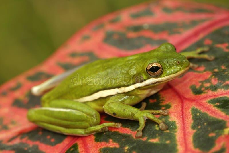 Zielony treefrog (Hyla cinerea) zdjęcia stock