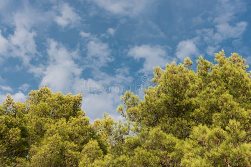Zielony treetop z niebieskiego nieba i bielu chmurami Sosny przeciw niebieskiemu niebu jako tło Las podczas lata zdjęcie royalty free