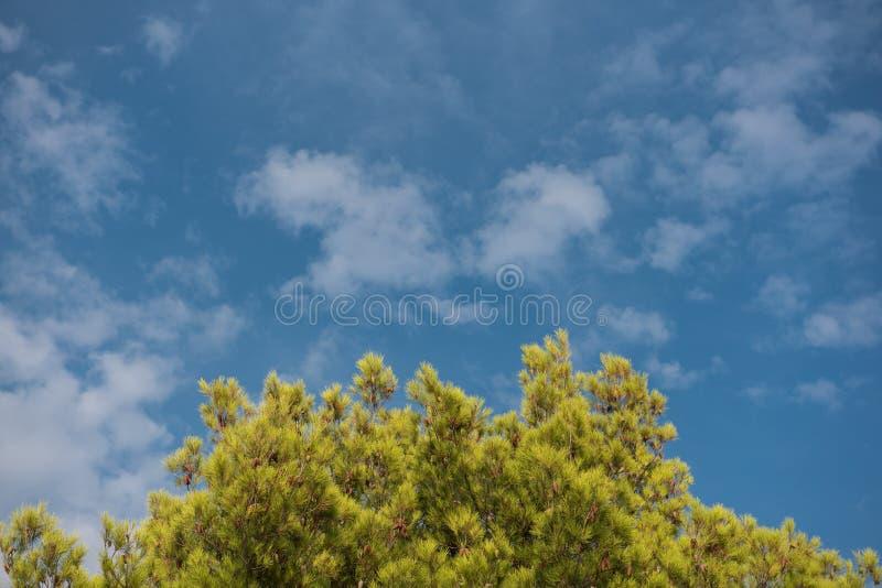Zielony treetop z niebieskiego nieba i bielu chmurami Sosny przeciw niebieskiemu niebu jako tło Las podczas lata zdjęcie stock