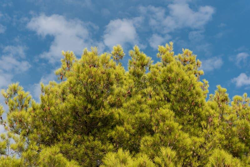 Zielony treetop z niebieskiego nieba i bielu chmurami Sosny przeciw niebieskiemu niebu jako tło Las podczas lata obraz royalty free