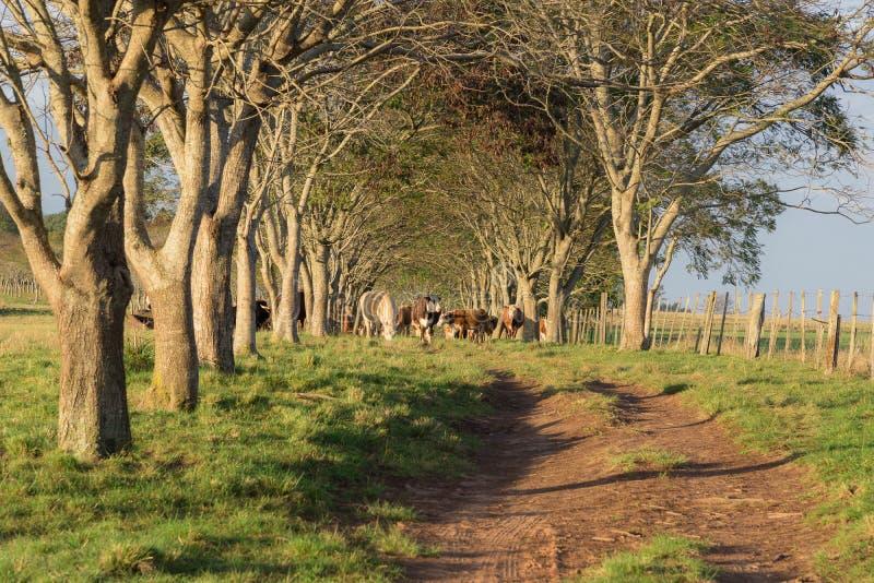 Zielony tunelowy 04 i krowy obrazy royalty free