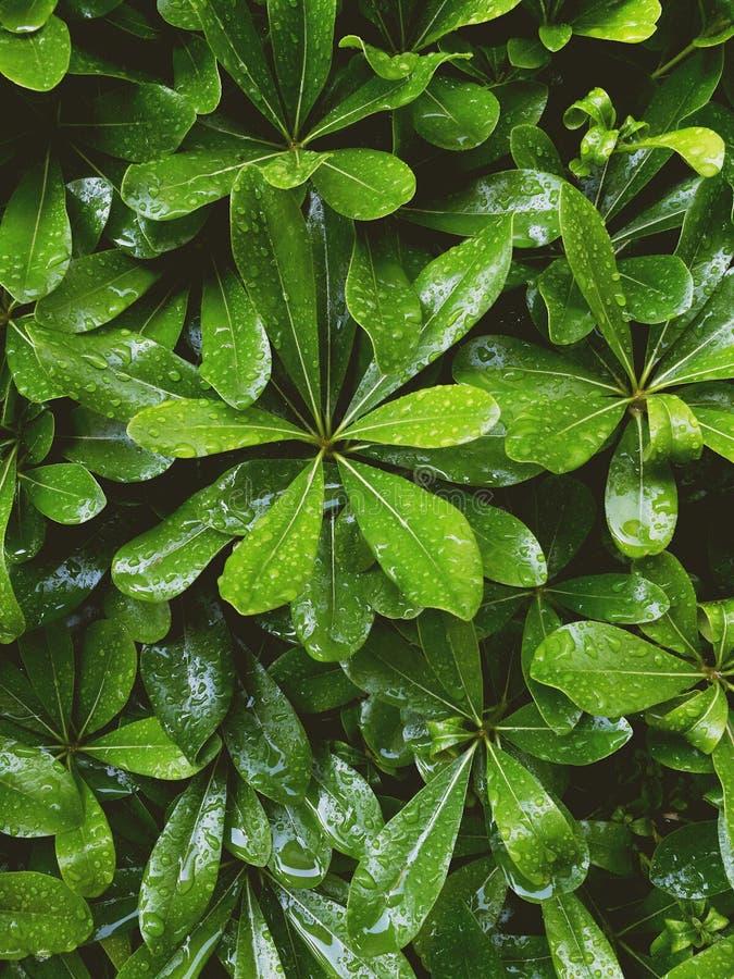Zielony ulistnienie z wod kroplami po deszczu obrazy stock