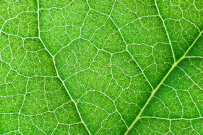 Zielony unerwiony li?? z abstrakta wzorem Abstrakcjonistyczny t?o dla botaniki, biologii i ekologii, (Indonezja) Horyzontalny z k zdjęcia royalty free