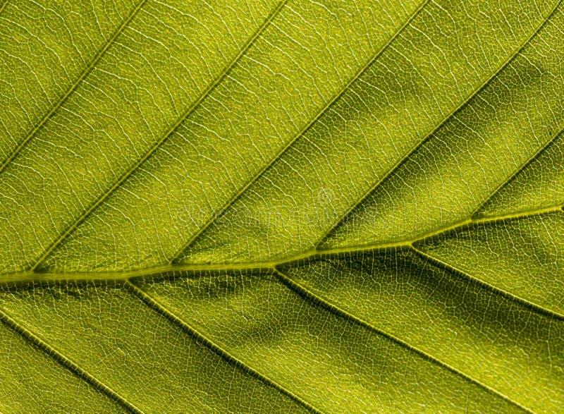 Zielony veiny liść fotografia royalty free