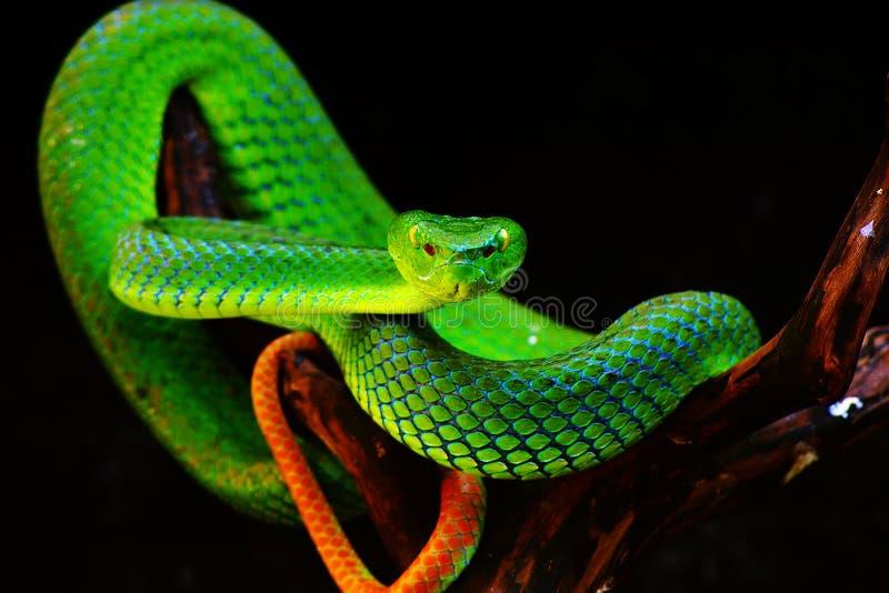 zielony wąż zdjęcia royalty free