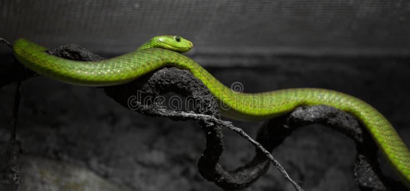 zielony wąż obraz stock