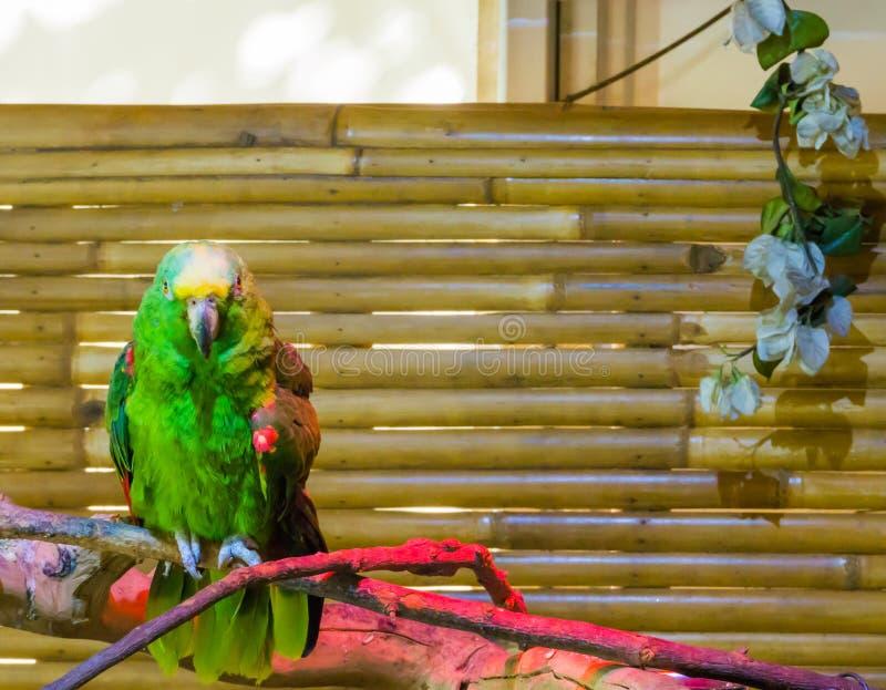 Zielony wibrujący barwiony kolor żółty naped Amazon papugi lub kolor żółty koronował papugi przez wylesienia zagrożoni gatunki obrazy royalty free
