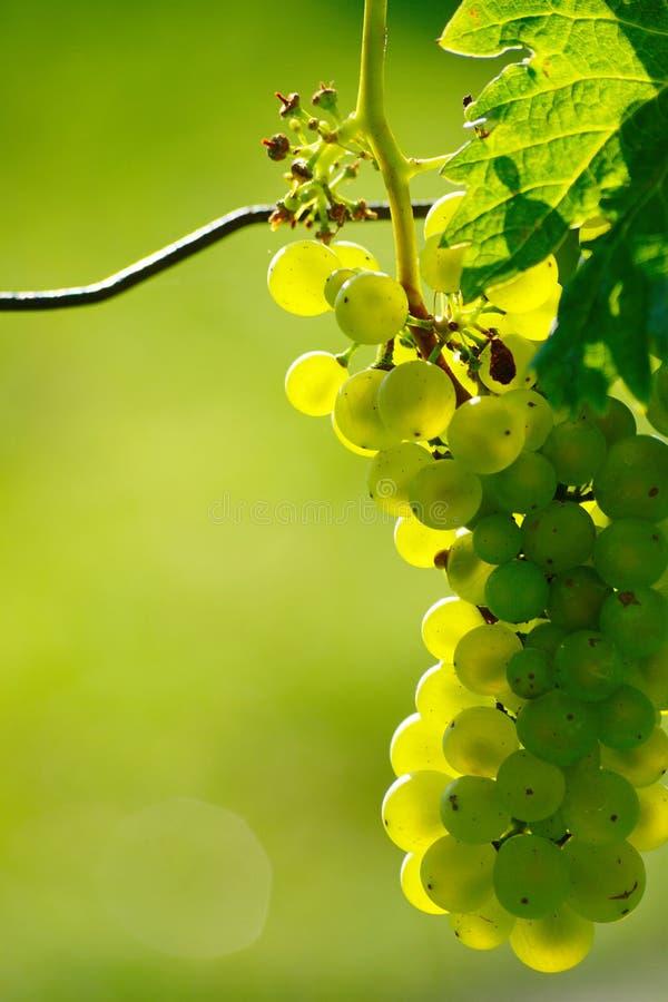 Zielony wina winogrono W winnicy zdjęcia royalty free