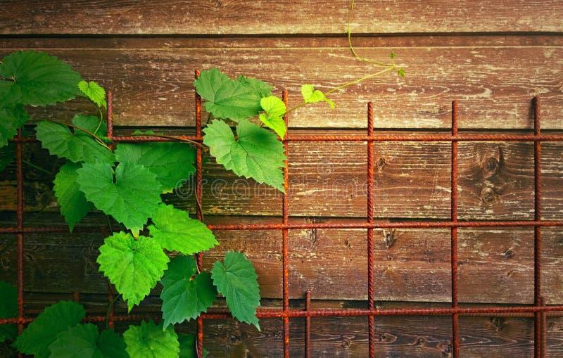 Zielony winograd na tle drewno deski i ośniedziała siatka obraz stock