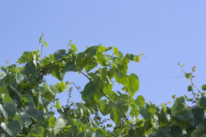 Zielony winogrono rozgałęzia się nad niebieskim niebem fotografia royalty free