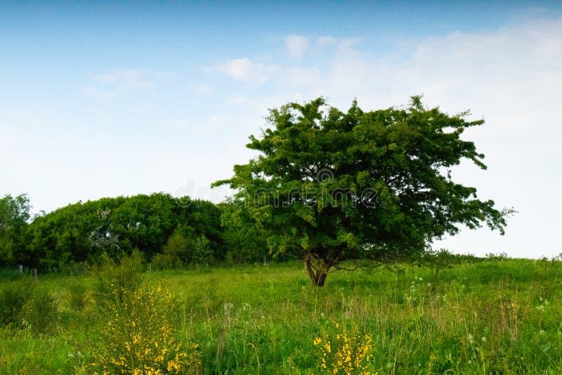 Zielony wiosny drzewo na łące zdjęcia royalty free