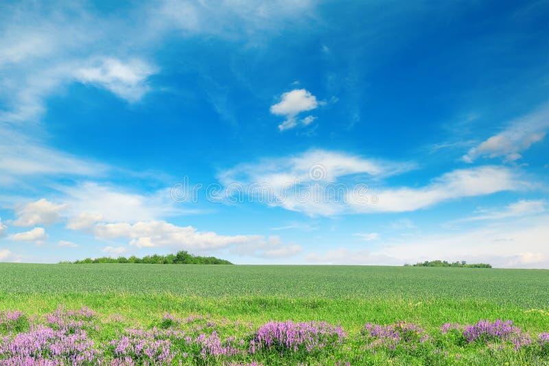 Zielony wiosny pszeniczny pole, niebieskie niebo i zdjęcia royalty free