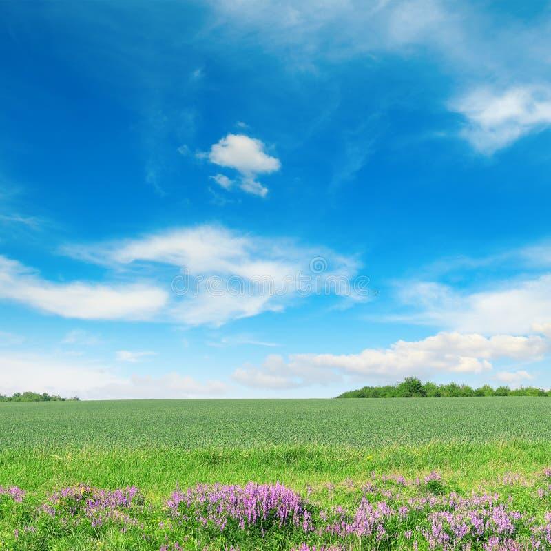Zielony wiosny pszeniczny pole, niebieskie niebo i fotografia royalty free