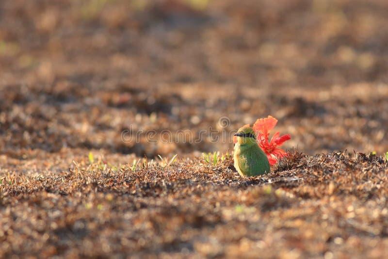 Zielony zjadacz w gniazdeczku zdjęcie stock