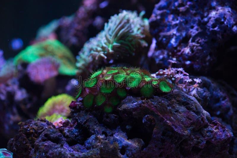 Zielony zoa koral zdjęcia royalty free