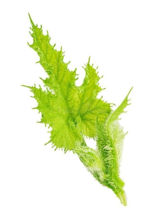 Zielony zucchini liść odizolowywający na białym tle obraz stock