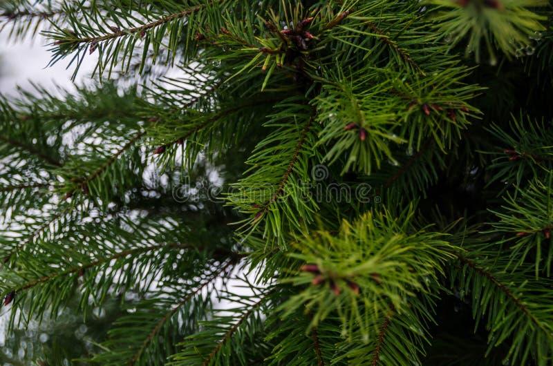 Zielonych igieł jedlinowi drzewa w jardzie zdjęcie stock