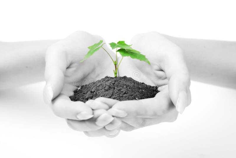 zielonych ręk kiełkowa kobieta zdjęcie stock