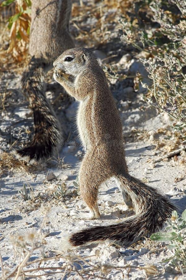 Ziemi afrykańska wiewiórka fotografia stock