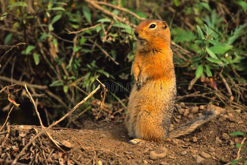 ziemi arktyczna wiewiórka zdjęcie stock