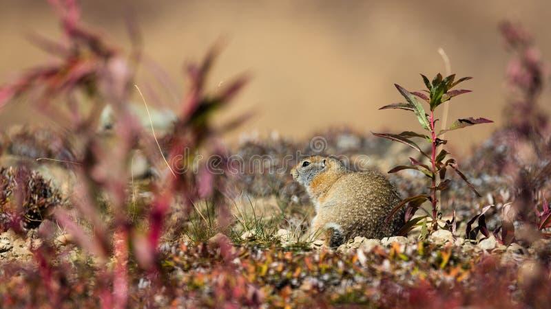 ziemi arktyczna wiewiórka obrazy royalty free