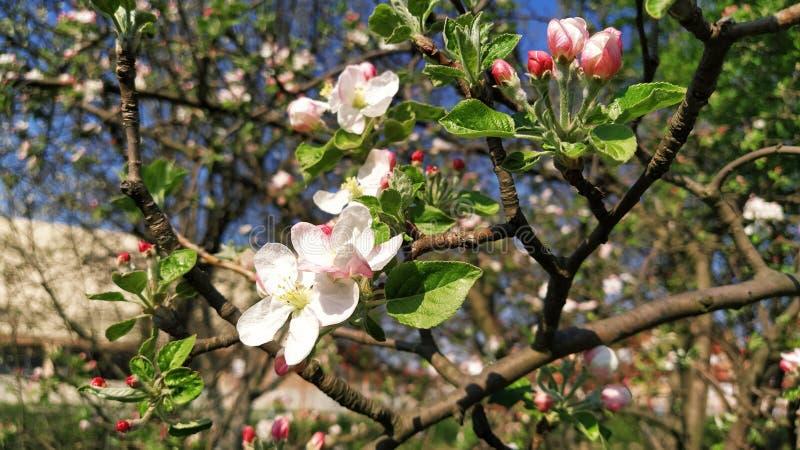 Zierblütenblätter aus Apfelbaum Apfelbäume in üppig blühenden weißen Blumen Pestles und Stuten sind zu erkennen Frühjahr lizenzfreies stockfoto