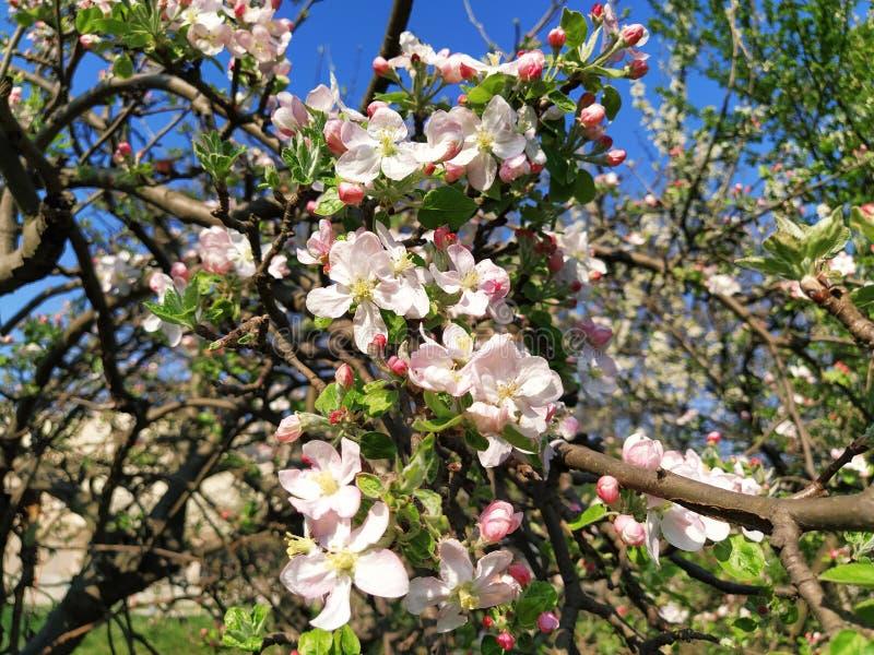 Zierblütenblätter aus Apfelbaum Apfelbäume in üppig blühenden weißen Blumen Pestles und Stuten sind zu erkennen Frühjahr lizenzfreie stockbilder