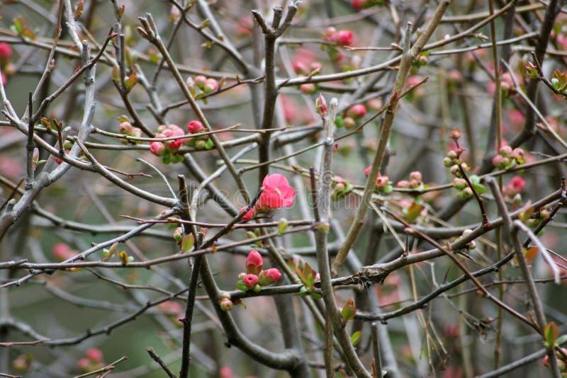 Zierquittebüsche Niederlassungen und Blumen stockfoto