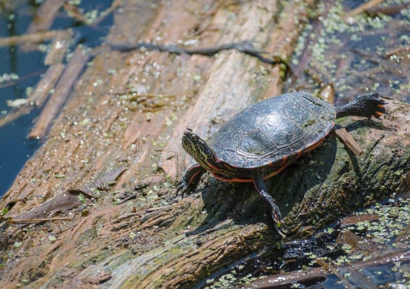 Zierschildkröte auf dem Klotz, der nach links schaut lizenzfreies stockbild