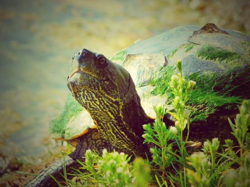Zierschildkröte auf der Bank von einem lokalen Fischerei-Teich stockfotografie