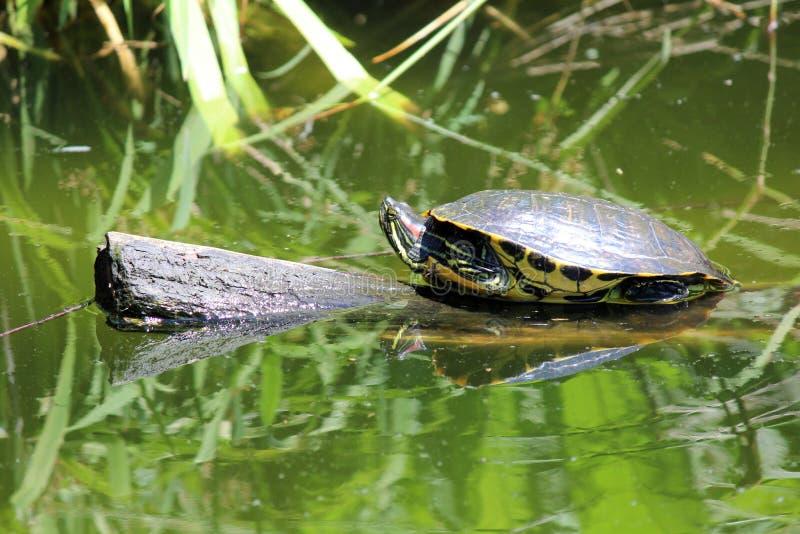 Zierschildkröte auf Klotz lizenzfreies stockbild