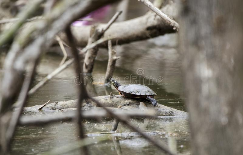 Zierschildkröte auf schlammigem Sumpfteich in Georgia, USA stockfotografie