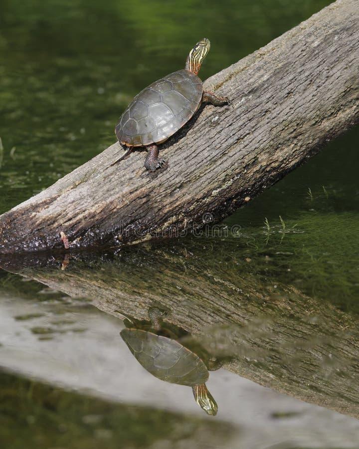 Zierschildkröte, die auf einem Klotz sich aalt lizenzfreie stockbilder
