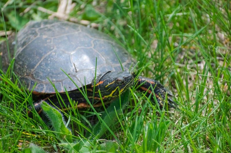 Zierschildkröte im Gras, das recht schaut lizenzfreies stockfoto