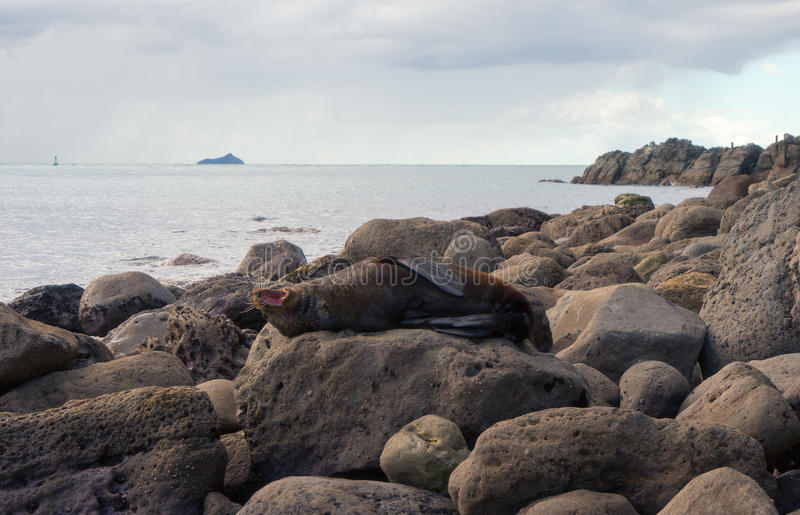 Ziewająca futerkowa foka na dużej skale fotografia stock