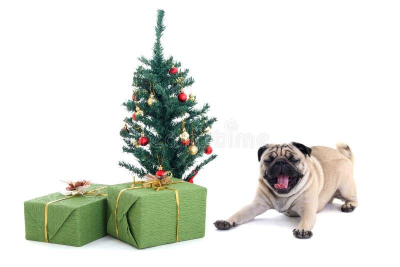 Ziewający mopsa pies z choinką i teraźniejszość zdjęcia stock