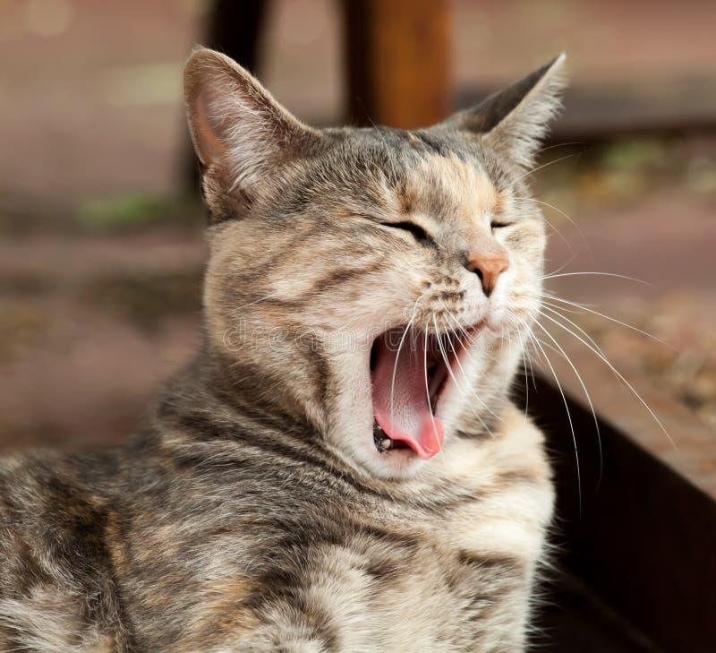 Ziewający tabby kot zdjęcie royalty free