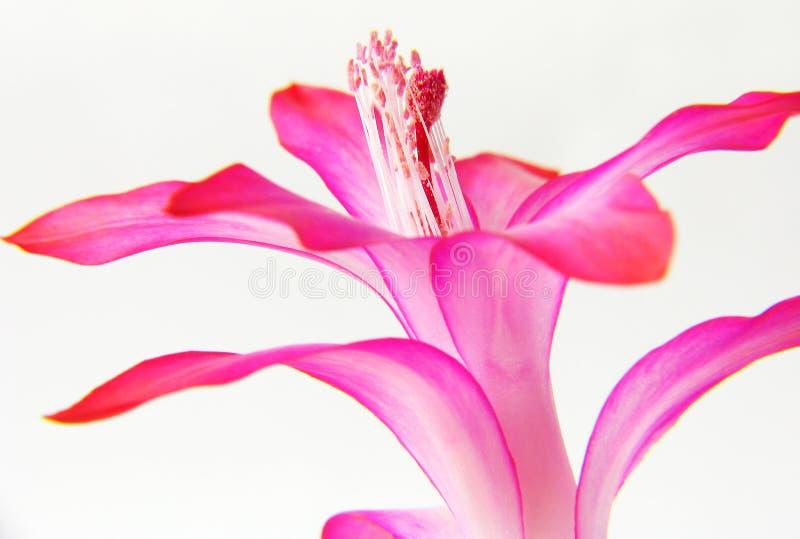 Zigocactus truncatus royalty free stock image