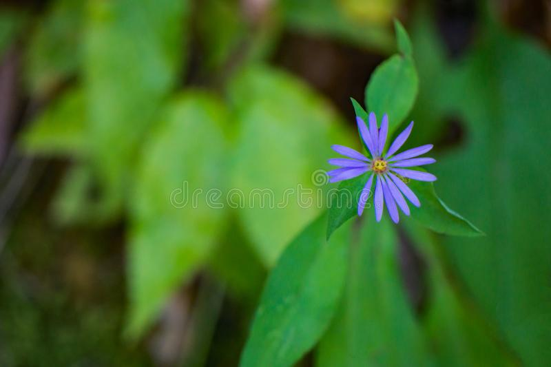 Zigzag Aster stock images