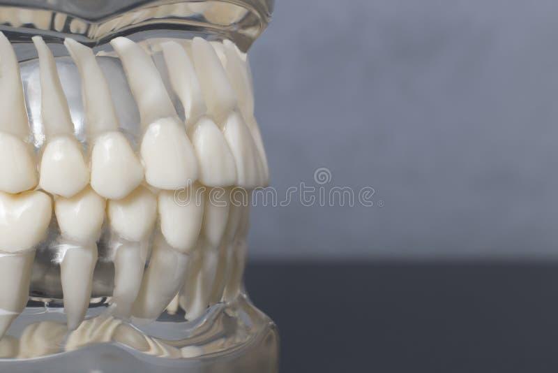 Zij dichte omhooggaande mening van tandenmodel stock afbeeldingen